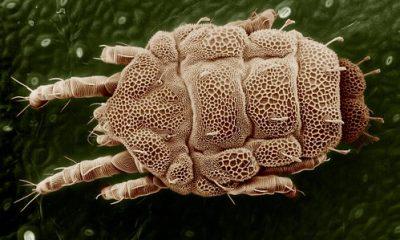 pasożytnicze roztocze
